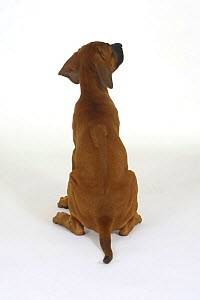 Domestic dog, Rhodesian Ridgeback puppy, 10 weeks from behind, note ridge on back  -  Petra Wegner