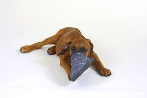 Domestic dog, Rhodesian Ridgeback puppy, 10 weeks, with its nose in a slipper - Petra Wegner
