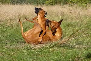 Domestic dog, Rhodesian Ridgeback playing with puppy, 14 weeks  -  Petra Wegner