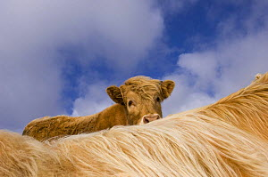 Highland calf (Bos taurus) looking over the back of its mother, Tiree, Scotland UK. May 2006  -  Niall Benvie
