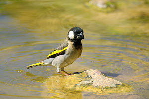 Golden winged grosbeak {Rhynchostruthus socotranus socotranus} at water, Wadi Ayhaft, Socotra, Yemen  -  Hanne & Jens Eriksen