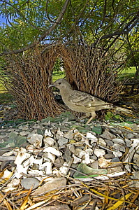 Male Great grey bowerbird {Chlamydera nuchalis} standing in front of bower, in garden, Lake Argyle, Western Australia  - Sticks, bones, glass, berries and leaves make up the treasures in this bower  -  Steven David Miller