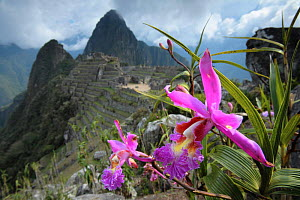 Machu Pichu, Andes, Peru with {Sobralia dichotoma} flower in foreground, 2006.  -  Juan Manuel Borrero