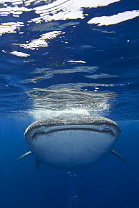 Whale shark {Rhincodon typus} Kona coast, Hawaii - Doug Perrine