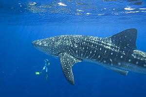 Whale shark {Rhincodon typus} and photographer (James D. Watt), Keahou Bay, Hawaii - Doug Perrine