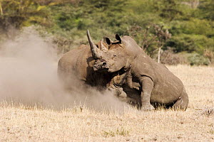 Two male White Rhinoceros {Ceratotherium simum} fighting for territory, one with horn hooked under others neck, Lewa Downs, Kenya  -  Michael Hutchinson