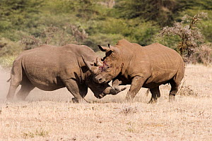 Two male White Rhinoceros {Ceratotherium simum} fighting for territory, one with horn hooked under other's leg, Lewa Downs, Kenya  -  Michael Hutchinson