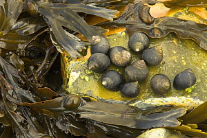 Common periwinkles (Littorina Littorea) attached to rock with bladderwrack (Fucus vesiculosus),  Norfolk, UK  -  Gary K. Smith