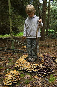 Child looking at circle of Sulphur tuft fungus (Hypholoma fasciculare) Belgium  -  Philippe Clement