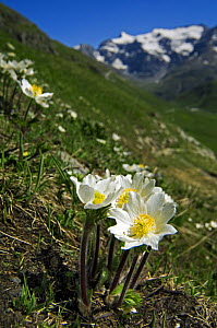 Alpine pasqueflower (Pulsatilla alpina), Alps, France  -  Philippe Clement