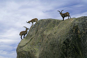 Three Spanish ibex {Capra pyrenaica} males standing on mountain side, Sierra de Gredos, Spain  -  Philippe Clement