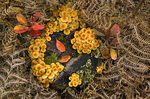 Sulphur tuft fungus (Hypholoma fasciculare) on decaying wood, Belgium  -  Philippe Clement