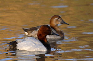 Canvasback pair (Aytha valisineria) swimming together, Washington WWT, Tyne & Wear, UK.  -  Roger Powell