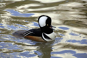 Male Hooded merganser (Lophodytes / Mergus cucullatus) displaying, Washington WWT, Tyne & Wear, UK - Roger Powell