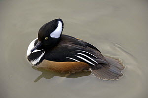 Hooded Merganser (Lophodytes / Mergus cucullatus) male displaying, Washington WWT, Tyne & Wear, UK - Roger Powell