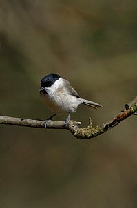 Marsh Tit (Poecile palustris) perched on branch,  Northumberland, UK  -  Roger Powell