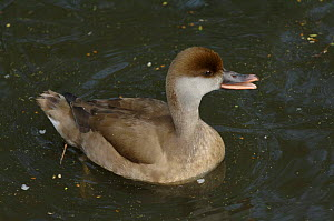 Red-crested Pochard (Netta rufina) Female calling, Tyne and Wear, UK  -  Roger Powell