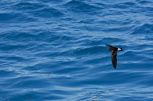 Galapagos storm-petrel (Oceanodroma tethys) in flight over pacific ocean, Gardner Bay, Espa�ola (Hood) Island, Galapagos Islands, South America  -  Pete Oxford