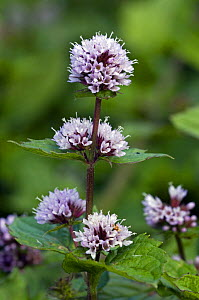 Peppermint in flower {Mentha x piperita} Belgium  -  Philippe Clement