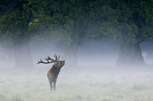 Red deer stag {Cervus elaphus} calling in the mist, Dyrehaven, Denmark  -  Philippe Clement