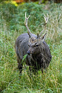Sika stag {Cervus nippon} grazing, Jaegersborg, Denmark - Philippe Clement