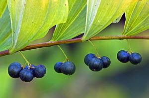 Common Solomon's Seal berries (Polygonatum multiflorum)  Belgium  -  Philippe Clement