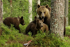 Brown Bear mother and cubs (Ursus arctos), behind tree, Finland - Paul Hobson
