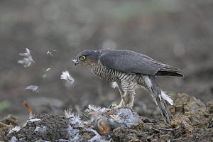 Female Sparrowhawk (Accipiter nisus) plucking a grey partridge in a field, Gloucestershire, uk - Paul Hobson
