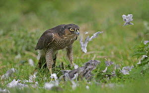 Female sparrowhawk (Accipiter nisus) plucking a wood pigeon in a field, Gloucestershire, uk - Paul Hobson