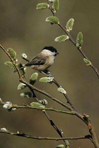 Willow tit (Poecile montanus) in pussy willow, uk  -  Paul Hobson