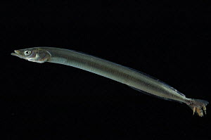 Sand eel {Ammodytes tobianus} from Barents sea,  Northern Europe, with parasitic copepods on tail - David Shale