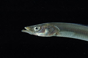 Sand eel {Ammodytes tobianus} from Barents sea,  Northern Europe - David Shale