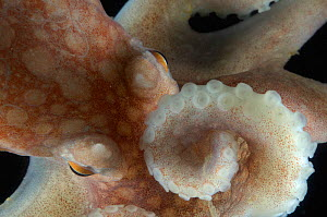 Close up of tentacles and eye of Arctic Octopus {Bathypolypus arcticus} benthic, Barents sea, Northern Europe  -  David Shale