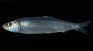 Atlantic herring {Clupea harengus} pelagic, deepsea, 2359m,  Barents sea, Northern Europe  -  David Shale