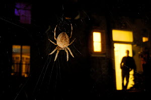 Garden spider {Araneus diadematus} at night outside house, London, UK  -  Laurent Geslin