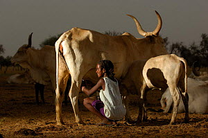 Fulani woman milking cattle, North Senegal, West Africa, 2005  -  Laurent Geslin