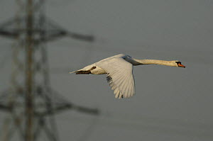 Mute Swan (Cygnus olor) flying with telegraph pylons and wires behind, Europe  -  Laurent Geslin