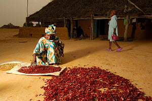 Fulani woman preparing local drink 'Fole wadere' from flower petals, North Senegal, West Africa, 2005  -  Laurent Geslin