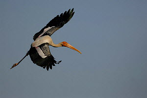 Painted stork flying {Mycteria leucocephala} India  -  Laurent Geslin