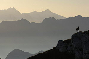 Plateau de Sous Dine, Alps, France, at sunrise with silhouette of Ibex  -  Laurent Geslin