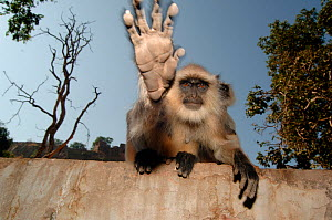 Southern plains grey / Hanuman langur {Semnopithecus dussumieri} stretching out hand to touch camera, Ranthambore NP, Rajasthan, India.  2006 - Laurent Geslin