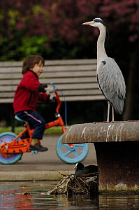 Grey Heron (Ardea cincerea) perched statue-like above Coot nest (Fulica atra) with boy on bicycle in background, Regents Park, London, England  -  Laurent Geslin