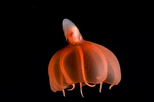 Deepsea cirrate octopod (Stauroteuthis syrtensis) 830m, Gulf of Maine, Atlantic  -  David Shale