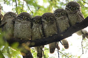 Six Spotted Owlet chicks (Athena brama) perched in a row, Keoladeo Ghana NP, Bharatpur, Rajasthan, India  -  Bernard Castelein