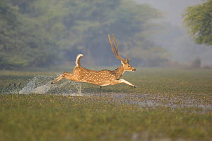 Chital / Spotted Deer (Axis / Cervus axis) male leaping through water, Keoladeo Ghana NP, Bharatpur, Rajasthan, India - Bernard Castelein