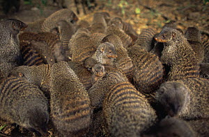 Group of Banded mongoose {Mungos mungo} huddling together, bonding by close contact, Queen Elizabeth NP, Uganda  -  Anup Shah