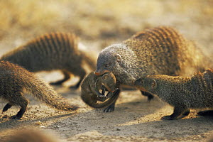 Banded mongoose {Mungos mungo} adult carrying young,  Queen Elizabeth NP, Uganda - Anup Shah