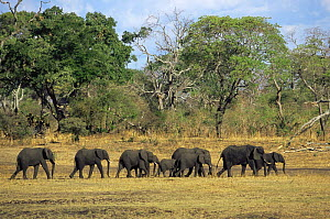 African elephant {Loxodonta africana} herd on the move searching for water in dry season, Katavi National Park, Tanzania  -  Anup Shah