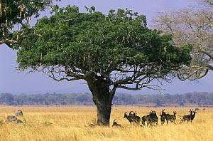 Topi {Damaliscus lunatus} herd resting in shade of tree, Katavi National Park, Tanzania - Anup Shah