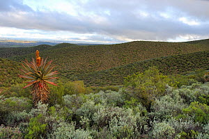 Mountain fynbos vegetation, Swartberg Mountains foothills, Little Karoo, South Africa  -  Tony Phelps